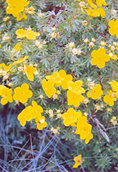Goldfinger Potentilla (Potentilla fruticosa 'Goldfinger') at Wasson Nursery