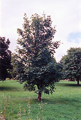 Sycamore Maple (Acer pseudoplatanus) at Wasson Nursery