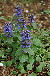 Caitlin's Giant Bugleweed (Ajuga reptans 'Caitlin's Giant') at Wasson Nursery