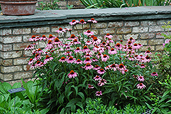 Magnus Coneflower (Echinacea purpurea 'Magnus') at Wasson Nursery
