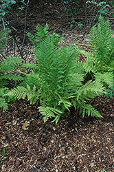 Lady Fern (Athyrium filix-femina) at Wasson Nursery