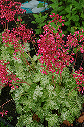 Snow Angel Coral Bells (Heuchera sanguinea 'Snow Angel') at Wasson Nursery