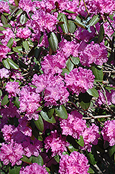 P.J.M. Rhododendron (Rhododendron 'P.J.M.') at Wasson Nursery