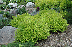Goldmound Spirea (Spiraea japonica 'Goldmound') at Wasson Nursery
