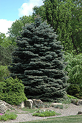 Fat Albert Blue Spruce (Picea pungens 'Fat Albert') at Wasson Nursery