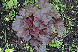 Obsidian Coral Bells (Heuchera 'Obsidian') at Wasson Nursery
