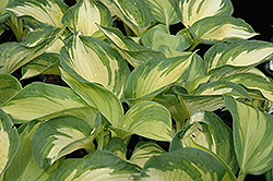 June Hosta (Hosta 'June') at Wasson Nursery