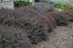 Crimson Pygmy Japanese Barberry (Berberis thunbergii 'Crimson Pygmy') at Wasson Nursery