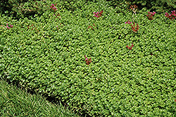 John Creech Stonecrop (Sedum spurium 'John Creech') at Wasson Nursery
