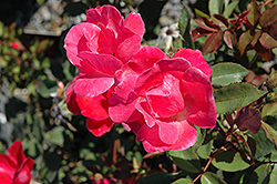 Pink Knock Out® Rose (Rosa 'Radcon') at Wasson Nursery
