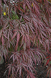Tamukeyama Japanese Maple (Acer palmatum 'Tamukeyama') at Wasson Nursery