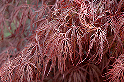 Crimson Queen Japanese Maple (Acer palmatum 'Crimson Queen') at Wasson Nursery