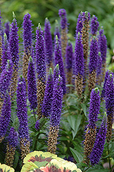 Royal Candles Speedwell (Veronica spicata 'Royal Candles') at Wasson Nursery