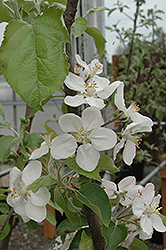 Gala Apple (Malus 'Gala') at Wasson Nursery