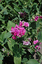 Perennial Sweet Pea (Lathyrus latifolius) at Wasson Nursery