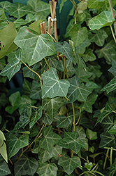 Thorndale Ivy (Hedera helix 'Thorndale') at Wasson Nursery