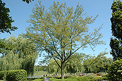 Skyline Honeylocust (Gleditsia triacanthos 'Skycole') at Wasson Nursery
