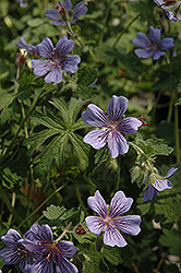 Brookside Cranesbill (Geranium 'Brookside') at Wasson Nursery