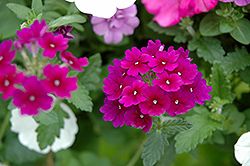 Lanai® Royal Purple Verbena (Verbena 'Lanai Royal Purple') at Wasson Nursery