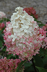 Vanilla Strawberry™ Hydrangea (Hydrangea paniculata 'Renhy') at Wasson Nursery