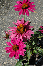 PowWow Wild Berry Coneflower (Echinacea purpurea 'PowWow Wild Berry') at Wasson Nursery