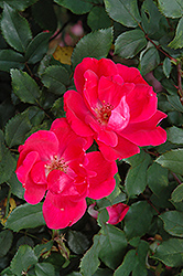 Red Knock Out® Rose (Rosa 'Red Knock Out') at Wasson Nursery