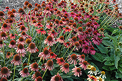 Cheyenne Spirit Coneflower (Echinacea 'Cheyenne Spirit') at Wasson Nursery