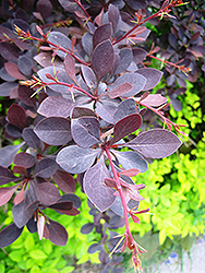 Red Leaf Japanese Barberry (Berberis thunbergii 'Atropurpurea') at Wasson Nursery