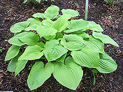 August Moon Hosta (Hosta 'August Moon') at Wasson Nursery