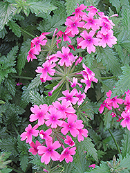 Lanai® Bright Eye Verbena (Verbena 'Lanai Bright Eye') at Wasson Nursery