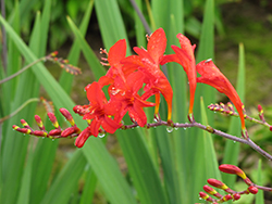 Lucifer Crocosmia (Crocosmia 'Lucifer') at Wasson Nursery