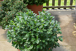 Low Scape® Mound Aronia (Aronia melanocarpa 'UCONNAM165') at Wasson Nursery