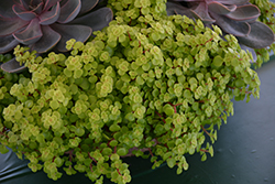 Golden Stonecrop (Sedum makinoi 'Ogon') at Wasson Nursery