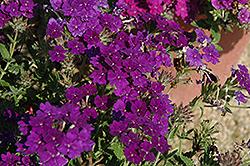 Lanai® Blue Denim Verbena (Verbena 'Lanai Blue Denim') at Wasson Nursery