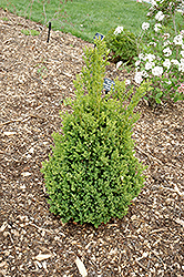 Green Mountain Boxwood (Buxus 'Green Mountain') at Wasson Nursery
