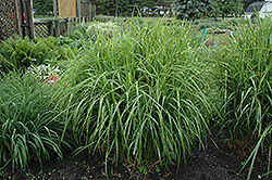 Porcupine Grass (Miscanthus sinensis 'Strictus') at Wasson Nursery