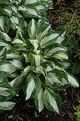 Vulcan Hosta (Hosta 'Vulcan') at Wasson Nursery