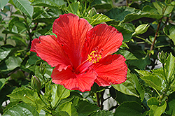 Red Hibiscus (Hibiscus rosa-sinensis 'Red') at Wasson Nursery