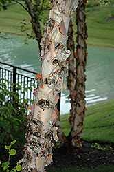 River Birch (Betula nigra) at Wasson Nursery
