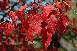 Amur Maple (Acer ginnala) at Wasson Nursery