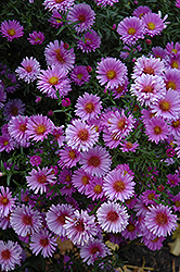 Purple Dome Aster (Aster novae-angliae 'Purple Dome') at Wasson Nursery