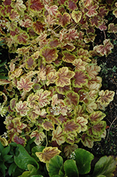 Solar Eclipse Foamy Bells (Heucherella 'Solar Eclipse') at Wasson Nursery