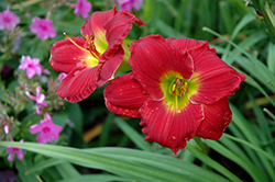 Happy Ever Appster® Red Hot Returns Daylily (Hemerocallis 'Red Hot Returns') at Wasson Nursery