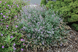 Cat's Meow Catmint (Nepeta x faassenii 'Cat's Meow') at Wasson Nursery