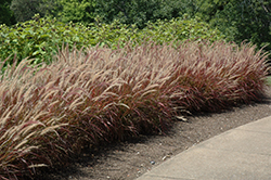 Purple Fountain Grass (Pennisetum setaceum 'Rubrum') at Wasson Nursery