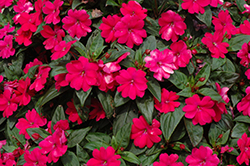 Big Bounce™ Cherry Impatiens (Impatiens 'Balbigbery') at Wasson Nursery