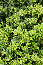 Soft Touch Japanese Holly (Ilex crenata 'Soft Touch') at Wasson Nursery