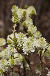 Mt. Airy Fothergilla (Fothergilla major 'Mt. Airy') at Wasson Nursery