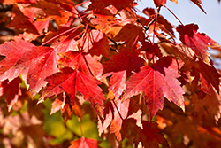 Sun Valley Red Maple (Acer rubrum 'Sun Valley') at Wasson Nursery