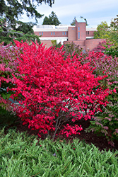 Compact Winged Burning Bush (Euonymus alatus 'Compactus') at Wasson Nursery